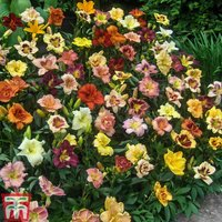 Hemerocallis Breeders Mix
