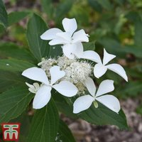 Hydrangea paniculata Great Star