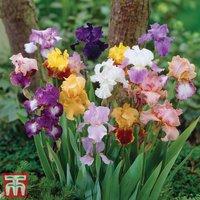 Bearded Iris Mixed