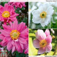 Anemone Collection