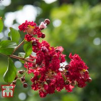 Lagerstroemia indica Double Feature