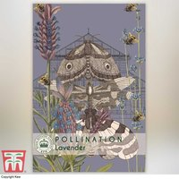 Lavender Munstead - Kew Pollination Collection