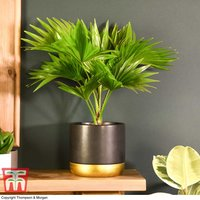 Livistona rotundifolia (House plant)