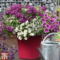 Magenta Lights Annuals Collection