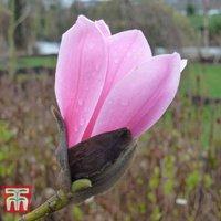 Magnolia wufengensis