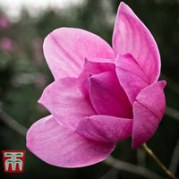 Magnolia sprengeri var. diva