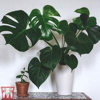 Monstera deliciosa (House Plant)