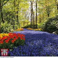 Muscari River Collection