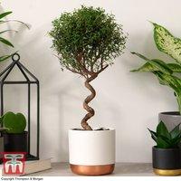 Myrtus communis on Spiral Stem (House plant)