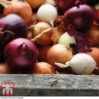 Onion Mixed Red, White & Brown (Spring/Autumn Planting)