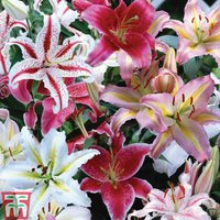 Oriental Lily Bulbs (Mixed)