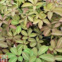 Parthenocissus henryana