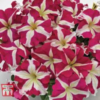 Petunia SUCCESS! HD Rose Star