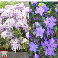 Rhododendron Duo