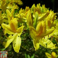 Rhododendron luteum