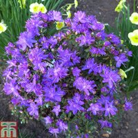Rhododendron fastigiatum