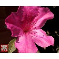 Rhododendron Catawbiense Grandiflorum