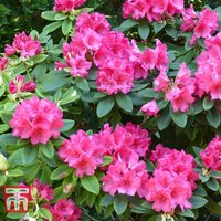 Rhododendron Wilgens Ruby