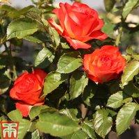 Rose Marieken (Shrub Rose)