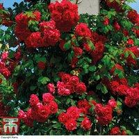 Rose Pauls Scarlet (Climbing)