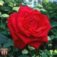 Rose Breeders Choice Red (Hybrid Tea Rose)