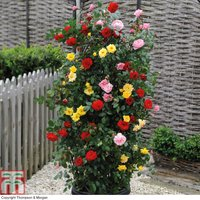 Rose 3-in-1 Collection (Climbing Rose)