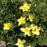 Rose xanthina Canary Bird (Climbing)