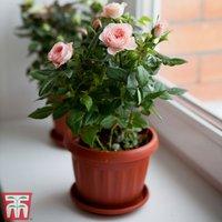 Rose Classic (Miniature) (House Plant)