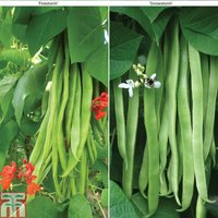 Runner Bean Firestorm and Snowstorm Collection