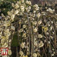 Salix caprea Kilmarnock