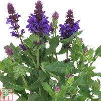 Salvia nemorosa