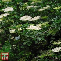 Elderberry (Hedging)