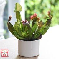 Sarracenia leucophylla (House Plant)