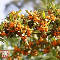 Sea Buckthorn (Hedging)