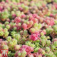Sedum Mix (House Plant)