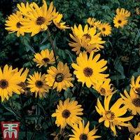 Sunflower x laetiflorus