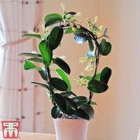 Stephanotis floribunda On A Hoop (House Plant)