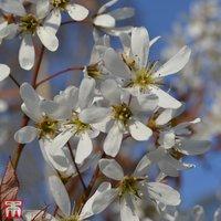 Amelanchier x grandiflora Princess Diana