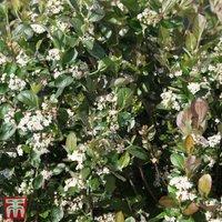 Aronia x prunifolia Viking