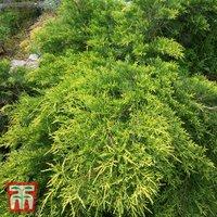 Juniperus x pfitzeriana Goldkissen