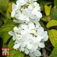 Viburnum plicatum f. tomentosum Shasta
