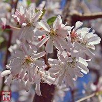 Prunus x subhirtella Autumnalis Rosea