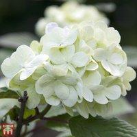 Viburnum plicatum f. plicatum Grandiflorum