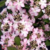 Viburnum plicatum f. tomentosum Molly Schroeder