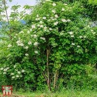 Elderberry (Hedging)