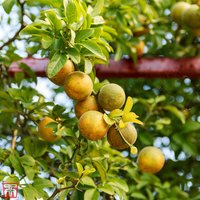 Citrus trifoliata
