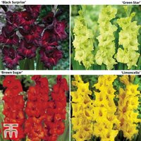 Gladioli Bold Collection