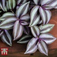 Tradescantia zebrina (House Plant)
