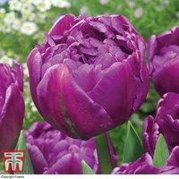 Tulip Double Flag