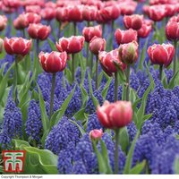 Tulip and Muscari